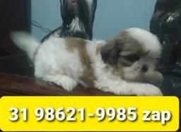 Título do anúncio: Cães Filhotes Alto Padrão em BH Shihtzu Poodle Lhasa Beagle Yorkshire Maltês