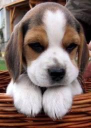 Beagle Fêmea bb ja comendo ração e com microchip