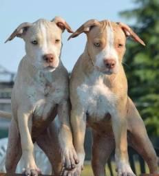 Filhotes de Pitbull belos