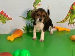 Beagle com pedigree e micro chipe