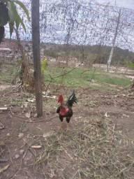 Título do anúncio: Galos  frangos e galinhas