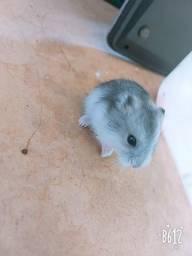 Hamster anão russo ( filhotes)