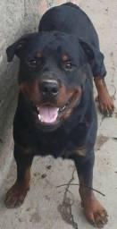 Cachorro hottweiler caruaru