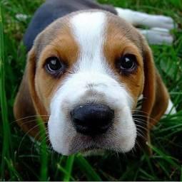 Filhote beagle