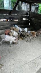 Leitão e Porca