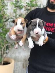 Bull Terrier Ingles, padrão CBKC, com suporte e assistência veterinária gratuito