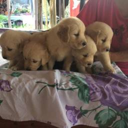 Lindos filhotes de Golden Retrievers