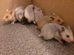 Título do anúncio: Hamsters Sírios Disponíveis