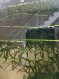 Planta aquática elodea acompanha lentilha