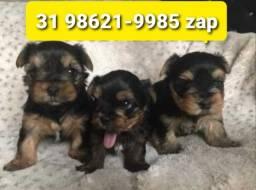 Título do anúncio: Cães Filhotes Líder em BH Yorkshire Beagle Basset Lhasa Shihtzu Poodle Maltês