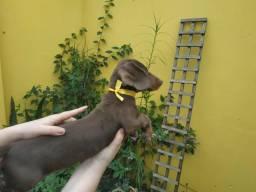 Entrega imediata !!! filhotes dachshund