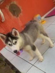 Vendo Husky Siberiano