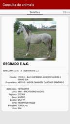 Cavalo Mangalarga Machador Registrado REGRADO E.A.O
