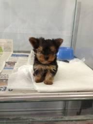 Yorkshire Terrier baby face - 6 lojas próprias - Parcelamos em 12x Sem Juros
