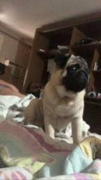 Pug acabou de completar 3 anos