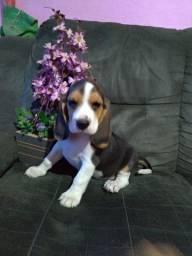 Beagle -Lindas filhotes fêmea com pedigree CBKC !