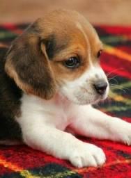 Beagle fêmea olha quem chegou ja vacinada