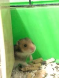 Vendo filhotes de hamster