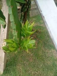 Mudas de pitaya polpa branca e amarela de polpa branca