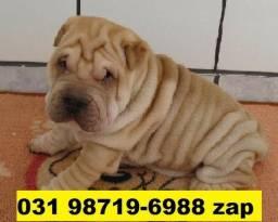 Canil Filhotes Cães Top Pet BH Sharpei Beagle Basset Shihtzu Maltês Yorkshire Bulldog