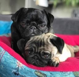 Pug Fêmea e macho