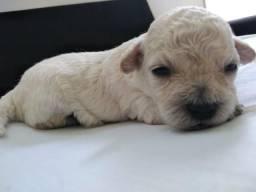 Linda Filhote Poodle Fêmea