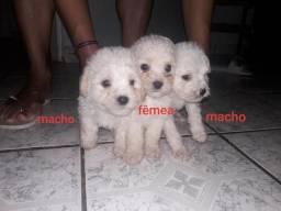 Filhote de Poodle n° 1