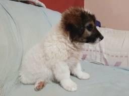 Filhote Macho Poodle com Maltês