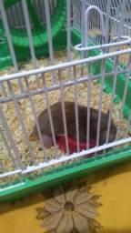 Vendo Hamster com duas gaiolas