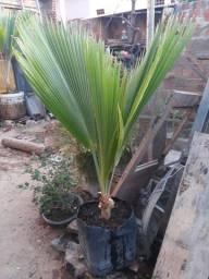 Vendo palmeiras para jardins tenho 2 duas
