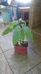 Mini pe de abacate