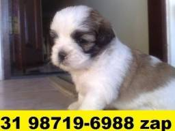 Canil Filhotes Cães Premium BH Lhasa Maltês Poodle Basset Yorkshire Shihtzu