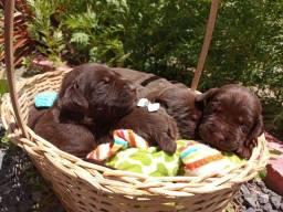 Título do anúncio: Filhotes de labrador chocolate