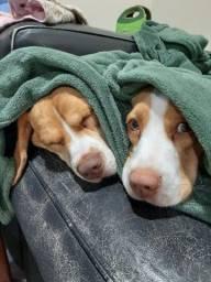 Beagles direto do criador