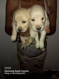 Título do anúncio: Vendo cachorro filhotes labrador
