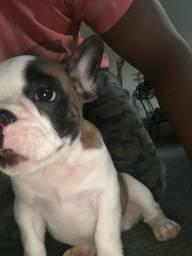 Filhote de bulldog Frances
