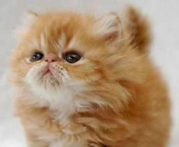 Machinho de gatos Persas com pedigree