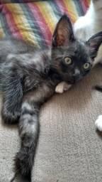 Doação de gatinhos com 2meses e meio