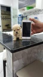 Poodle micro toy. Somente macho disponível