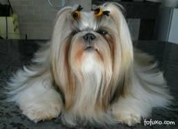 Shih tzu canil ps, alta genética