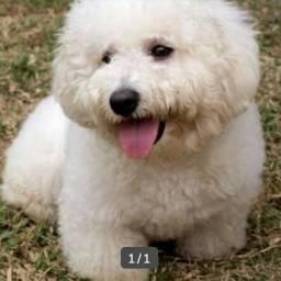 Procuro um poodle pra comprar