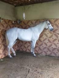 Cavalo P.O linhagem de corrida