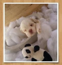 Filhotes de Lhasa Apso Albinos