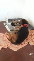 Filhote de Basset dachshund