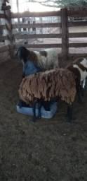 Vende-se 4 ovelhas