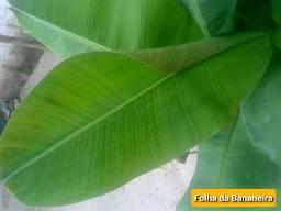 Folhas de bananeiras para culinária