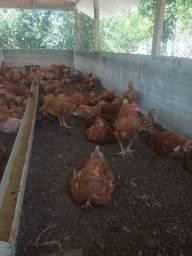 Título do anúncio: Galos e galinhas