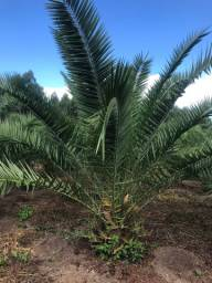 Palmeira Phoenix Canariense