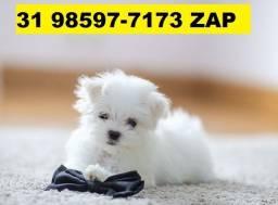 Canil Filhotes Premium Cães BH Maltês Fox Yorkshire Poodle Shihtzu Lhasa Spitz Alemão