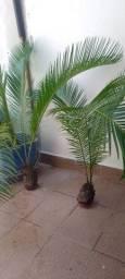 Título do anúncio: Vendo estas palmeiras